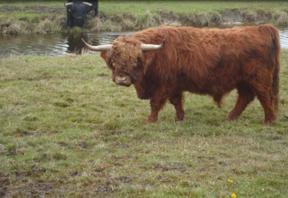 Schotsehooglander in Lauwersmeergebied  - Lytshuis Zilver