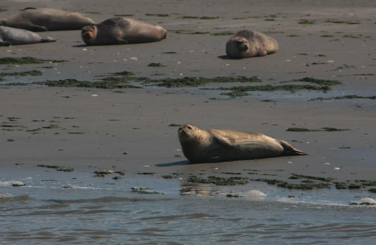 Zeehonden op het wad - Lytshuis Zilver